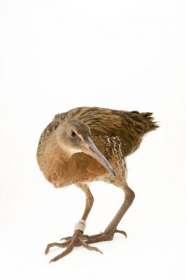A federally endangered light-footed clapper rail (Rallus longirostris levipes).