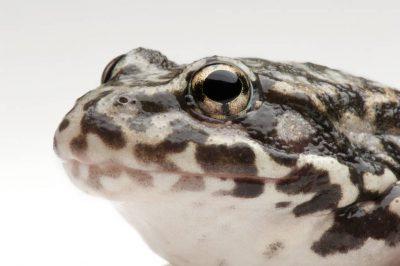 An endangered (IUCN) and federally endangered mountain yellow-legged frog (Rana muscosa). Population locality: San Jacinto.