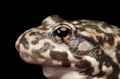 An endangered (IUCN) and federally endangered mountain yellow-legged frog (Rana muscosa). Population locality: San Bernardino.