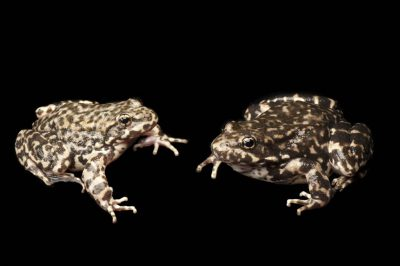 Endangered (IUCN) and federally endangered mountain yellow-legged frogs (Rana muscosa). Population locality: San Bernardino.