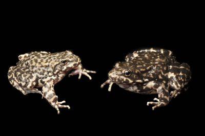 Endangered (IUCN) and federally endangered mountain yellow-legged frogs (Rana muscosa). Population locality: San Bernardino.