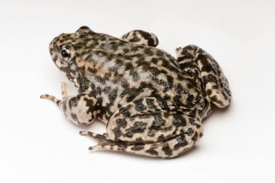 An endangered (IUCN) and federally endangered mountain yellow-legged frog (Rana muscosa).