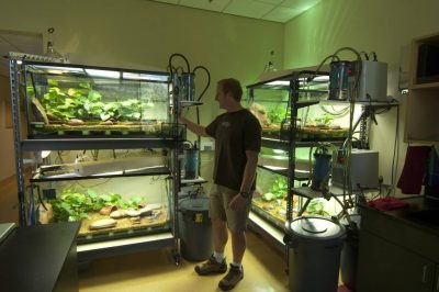 Captive breeding tanks for endangered (IUCN) and federally endangered mountain yellow-legged frogs (Rana muscosa).
