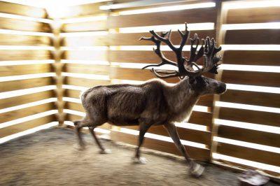 A federally endangered woodland caribou (Rangifer tarandus caribou).