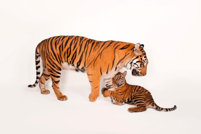 A critically endangered (IUCN) and federally endangered female Sumatran tiger and her five-month-old cub (Panthera tigris sumatrae) at Zoo Atlanta.