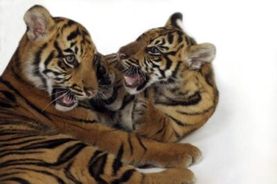 Critically endangered (IUCN) and federally endangered five-month-old Sumatran tiger cubs (Panthera tigris sumatrae) at Zoo Atlanta.