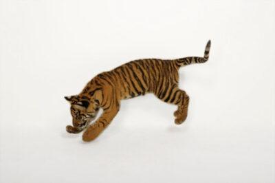 A critically endangered (IUCN) and federally endangered five-month-old Sumatran tiger cub (Panthera tigris sumatrae) at Zoo Atlanta.