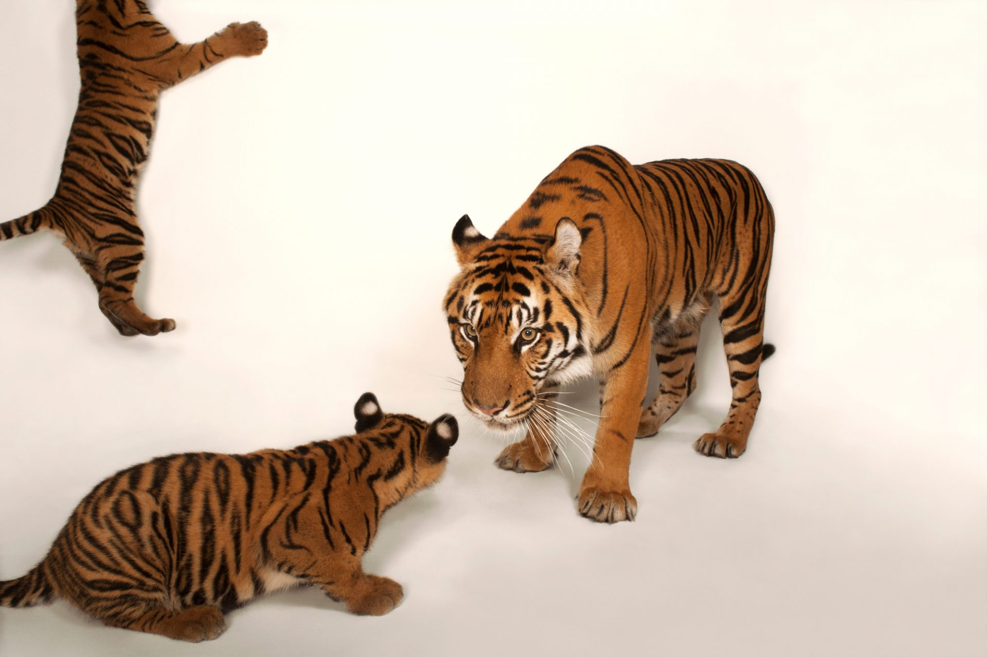A critically endangered (IUCN) and federally endangered female Sumatran tiger and her two, five-month-old cubs (Panthera tigris sumatrae) at Zoo Atlanta.
