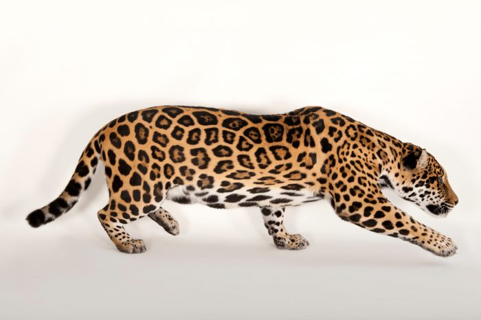 Picture of a federally endangered jaguar (Panthera onca) at the Omaha Zoo.