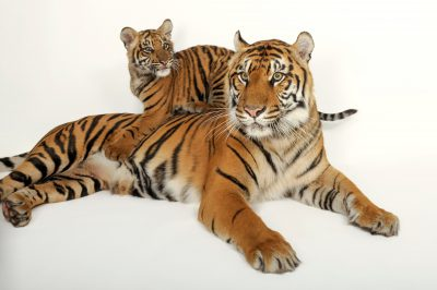 A critically endangered (IUCN) and federally endangered female Sumatran tiger (Panthera tigris sumatrae) and her five-month-old cub.