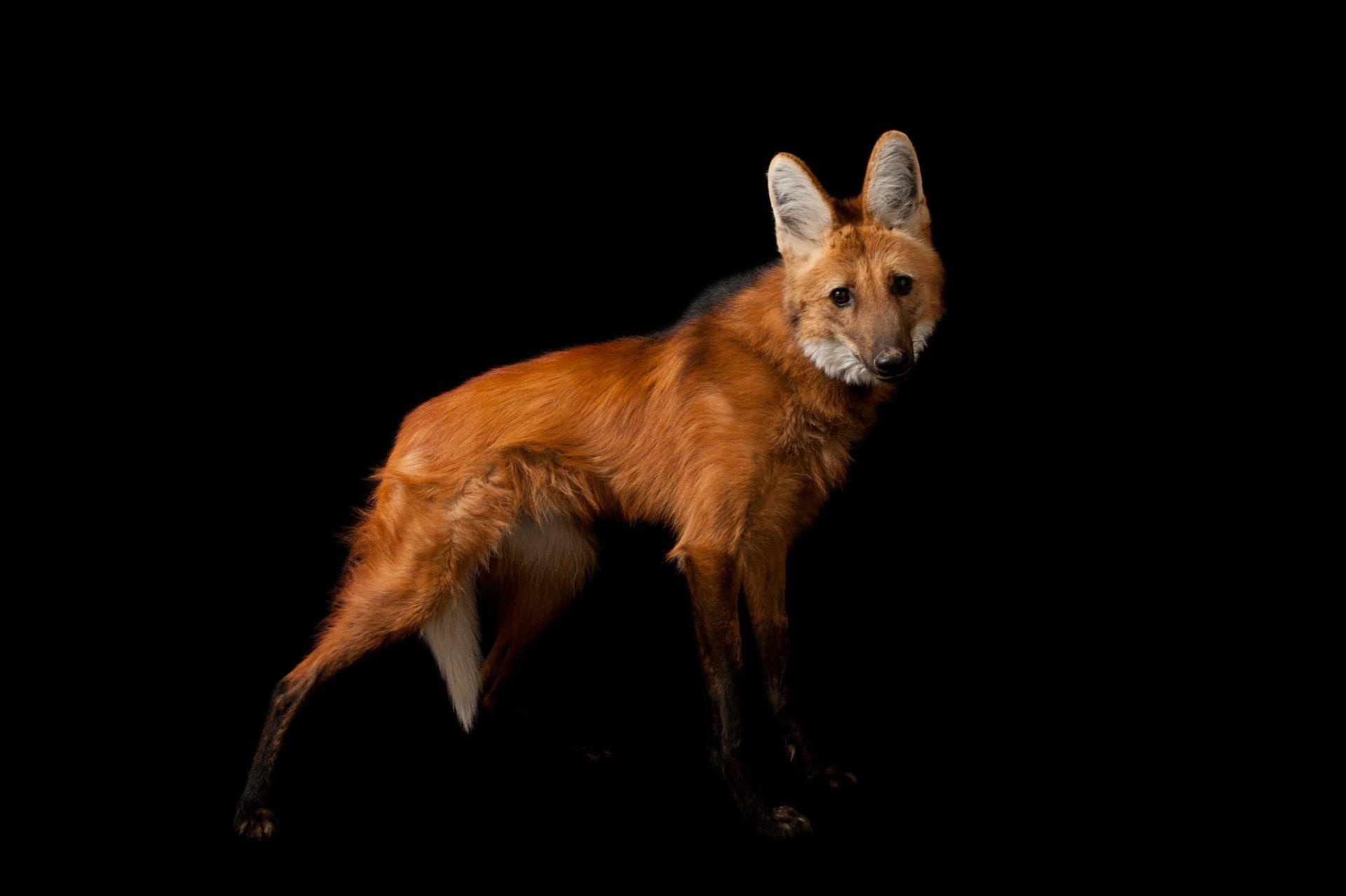 A federally endangered maned wolf (Chrysocyon brachyurus) at the Sunset Zoo.