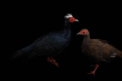 Picture of critically endangered (IUCN) and federally endangered Edward's pheasants (Lophura edwardsi) at the Sunset Zoo.
