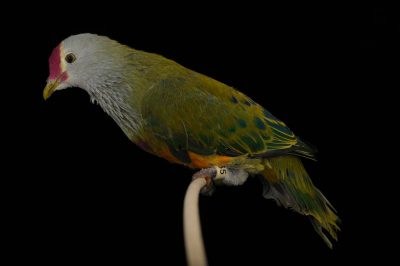 An endangered Mariana fruit dove (Ptilinopus roseicapilla) at the Houston Zoo.