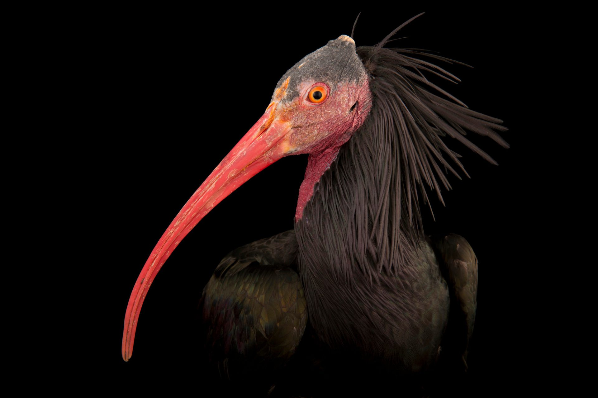 A Northern bald ibis (Geronticus eremita) at the Houston Zoo. This is a critically endangered (IUCN) and federally endangered bird from the Middle East.