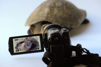 Video-taping a critically endangered Madagascar big-headed turtle (Erymnochelys madagascariensis) at the Houston Zoo.