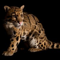 Vulnerable (IUCN) and federally endangered clouded leopard (Neofelis nebulosa) at the Houston Zoo.