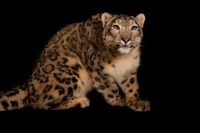 An endangered (IUCN) and federally endangered snow leopard (Panthera uncia) at the Miller Park Zoo.