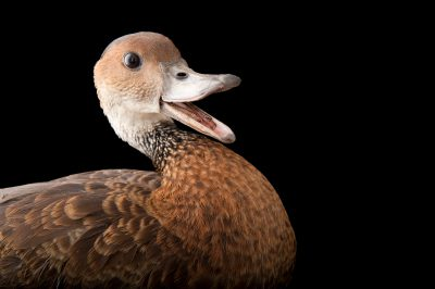 Picture of a vulnerable black-billed whistling duck (Dendrocygna arborea) at the Miller Park Zoo.