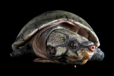 A vulnerable big-headed Amazon river turtle (Peltocephalus dumerilianus) at the National Aquarium, Baltimore.