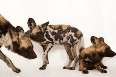 An endangered (IUCN) and federally endangered African wild dog (Lycaon pictus)