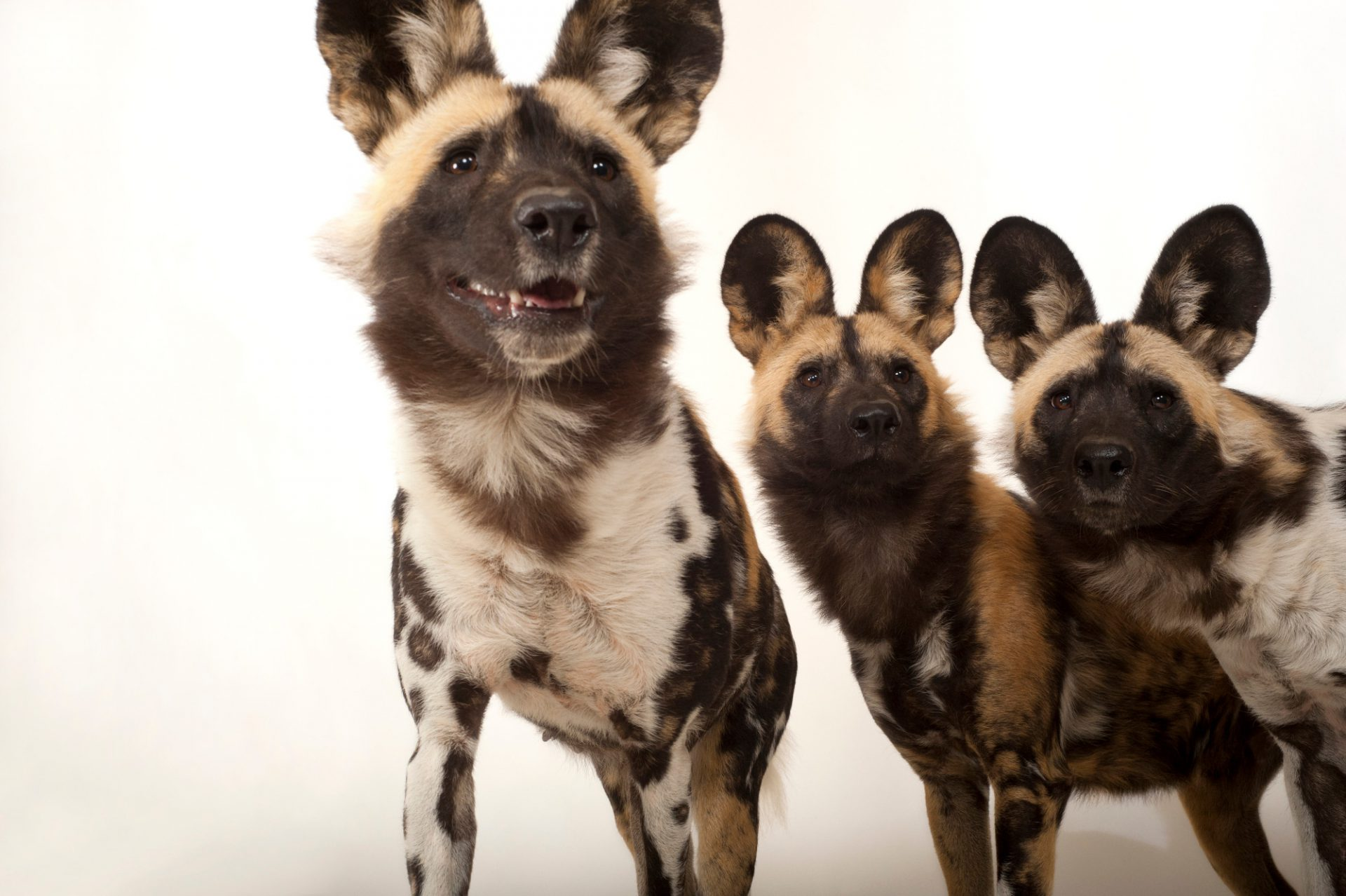 Photo: Federally endangered African wild dogs (Lycaon pictus).