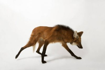 A federally endangered maned wolf (Chrysocyon brachyurus) at the Sunset Zoo.