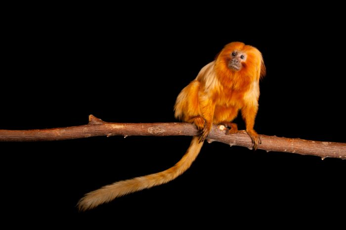Endangered Golden lion tamarins (Leontopithecus rosalia) at the Lincoln Children's Zoo.
