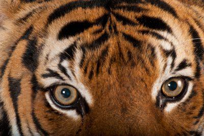 An endangered Malayan tiger (Panthera tigris jacksoni) at the Omaha Zoo.