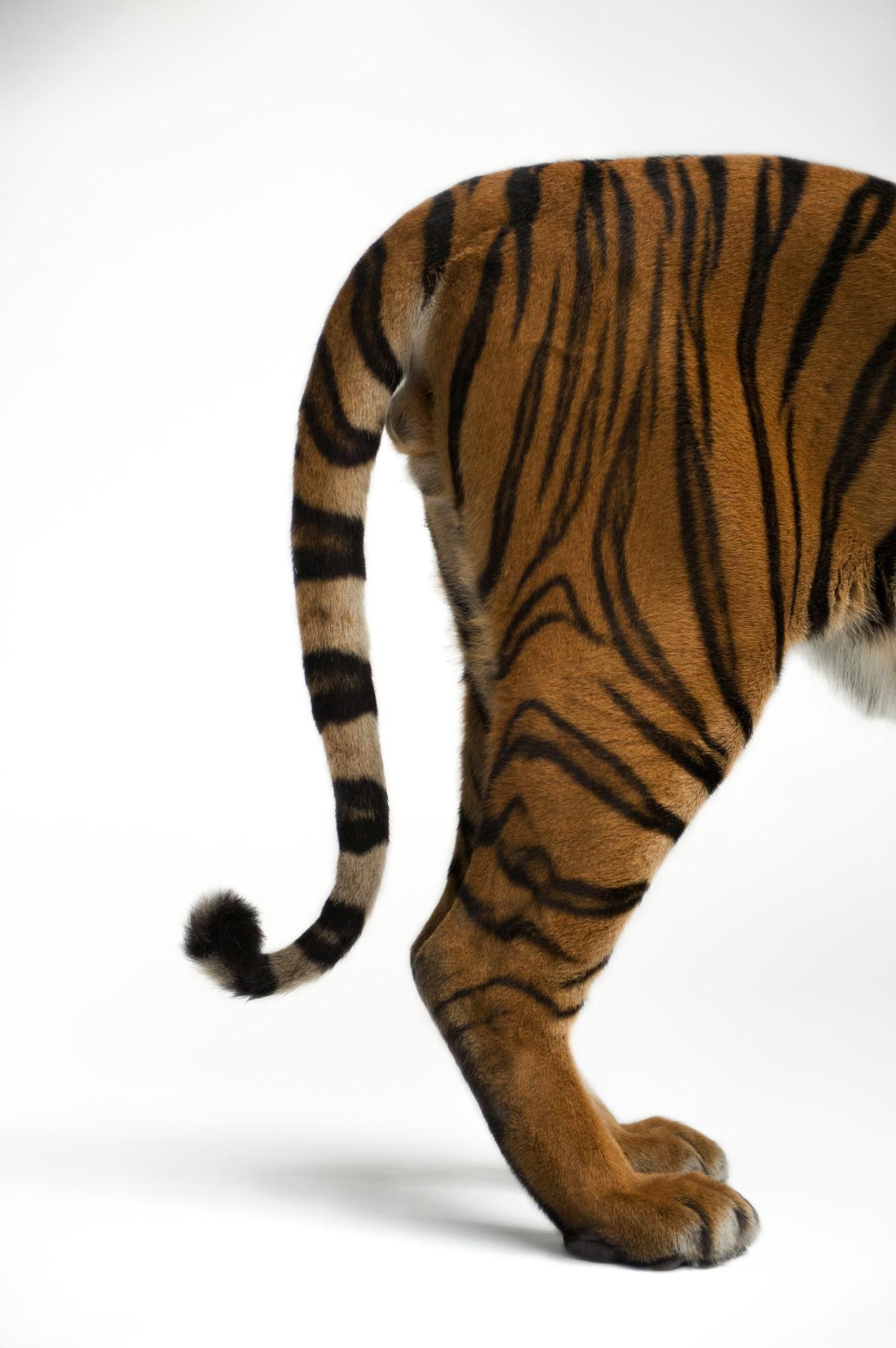 Хвост тигра картинки