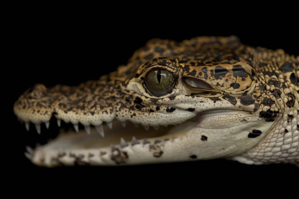 A critically endangered (IUCN) and federally endangered Cuban crocodile (Crocodylus rhombifer).