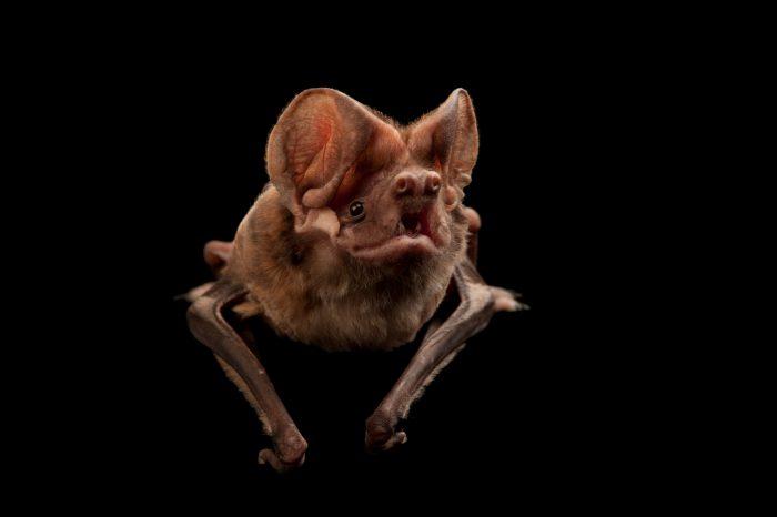 A critically endangered Florida bonneted bat (Eumops floridanus).