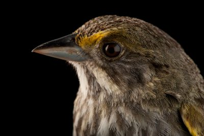 A federally endangered Cape Sable seaside sparrow (Ammodramus maritimus mirabilis). This bird is down to about 2,000 individuals and declining. Nearly all of these birds are found within the Everglades National Park in southern Florida.