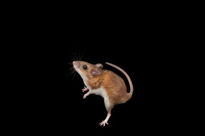 Picture of a federally-endangered Key Largo cotton mouse (Peromyscus gossypinus allapaticola). This animal now numbers fewer than 1,000, and like all wildlife in the Florida Keys, it could be lost for good when ocean levels rise and flood their island home.