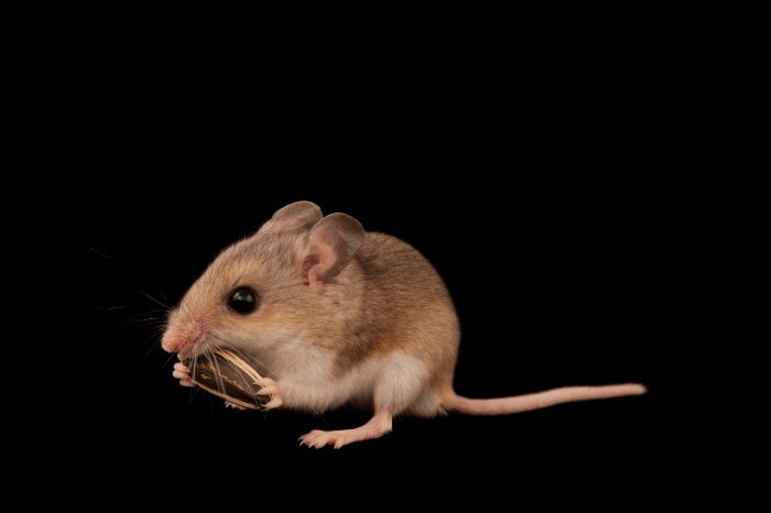 A federally threatened Southeastern beach mouse (Peromyscus polionotus niveiventris). There are only a few thousand of this species left.