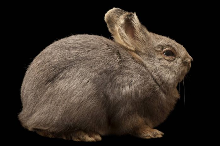 Bryn, the federally endangered Columbia Basin pygmy rabbit (Brachylagus idahoensis), sat for this portrait in 2007 at the Oregon Zoo in Portland, Oregon. She was one of two female Columbia Basin pygmy rabbits left, the end of the line for this race of animals. Since there are no males left, this means only animals intercrossed with the Idaho race will survive. She died in 2008, marking the end of her genetic line. This subpopulation lost its sagebrush habitat as the land was developed for agriculture in the state of Washington.