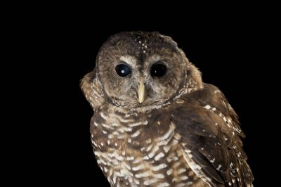 A federally threatened federally threatened Northern spotted owl (Strix occidentalis caurina) named Opal.