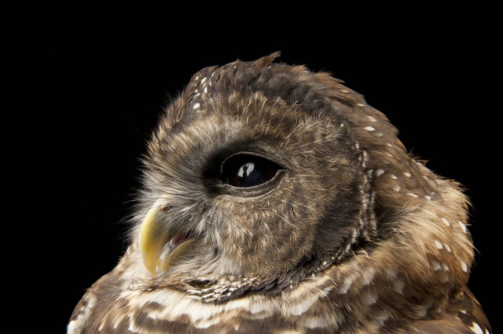 A federally threatened Northern spotted owl (Strix occidentalis caurina) named Opal.