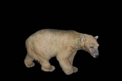 A vulnerable (IUCN) and federally threatened polar bear (Ursus maritimus) at the Tulsa Zoo.