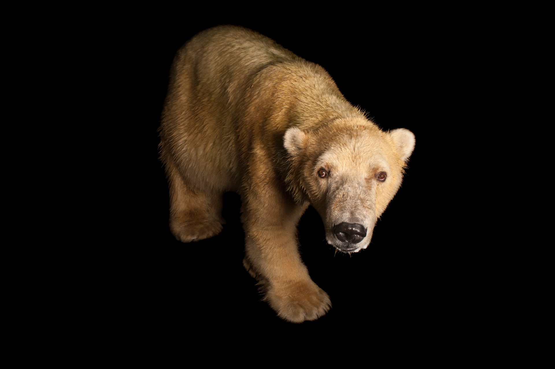 A vulnerable (IUCN) and federally threatened polar bear (Ursus maritimus) at the Tulsa Zoo.