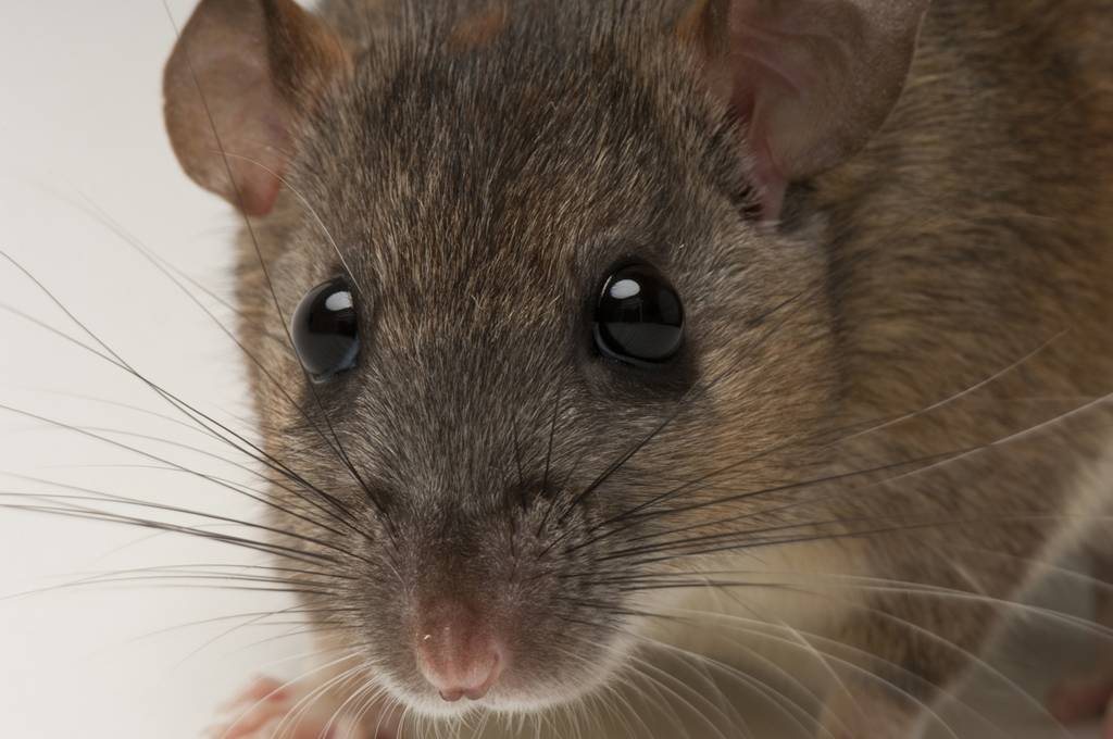 A federally endangered Key Largo wood rat (Neotoma floridana smalli) at Disney's Animal Kingdom. Fewer than 250 adults are believed left in the wild, in just two parcels of public land on Key Largo. Captive breeding efforts are underway at both Disney's Animal Kingdom and the Lowry Park Zoo in Tampa, thought the captive population still numbers less than 50 animals.