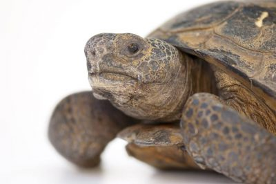 A vulnerable (IUCN) and federally threatened gopher tortoise (Gopherus polyphemus). This animal is federally listed as threatened from west of Mobile Bay, Alabama throughout southern Mississippi, and into eastern Louisiana.