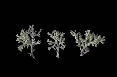 Photo: The endangered Florida perforate reindeer lichen (Cladonia perforata) at Archbold Biological Station.