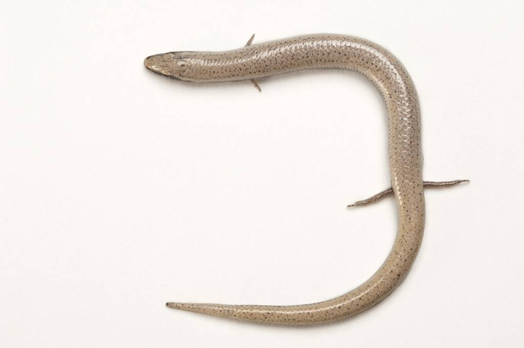 A vulnerable (IUCN) and federally threatened Florida sand skink (Plestiodon reynoldsi) at the Archbold Biological Station.