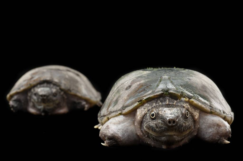 Flattened musk turtles (Sternotherus depressus) (IUCN: Vulnerable, US: Threatened) at the Tennessee Aquarium, Chattanooga, Tennessee.