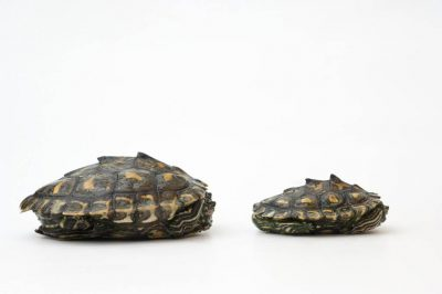 Endangered (IUCN) and federally threatened yellow-blotched map turtles (Graptemys flavimaculata) at the Tennessee Aquarium.