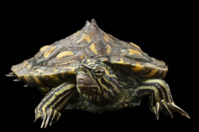An endangered (IUCN) and federally threatened yellow-blotched map turtle (Graptemys flavimaculata) at the Tennessee Aquarium.