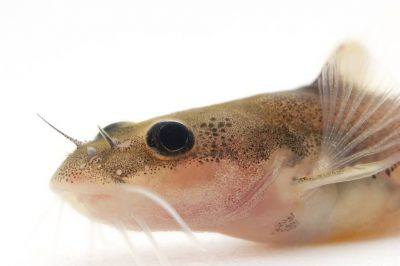 An endangered (IUCN) and federally endangered pygmy madtom (Noturus stanauli) at Conservation Fisheries. This stream fish is only found in the Clinch and Duck River drainages in Tennessee.
