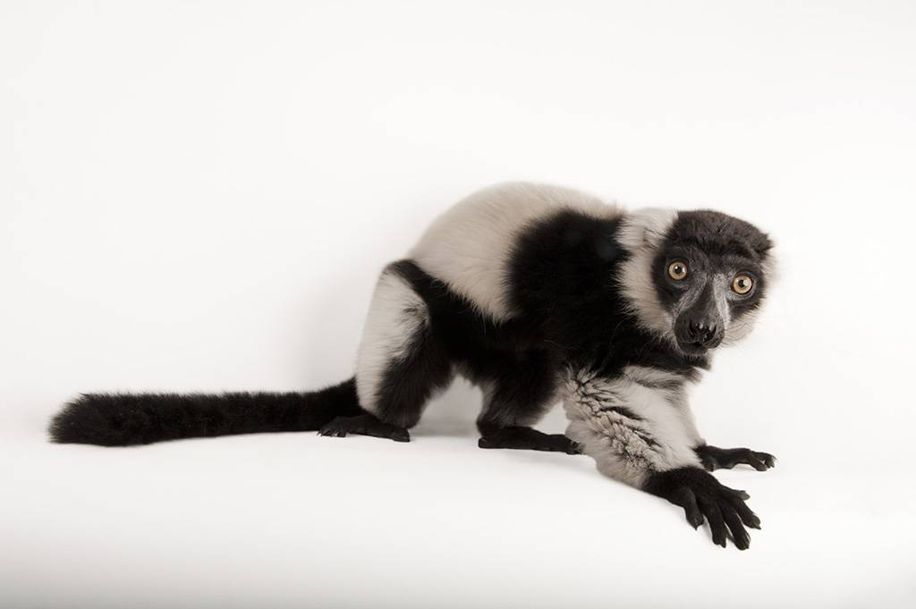 A critically endangered black-and-white ruffed lemur (Varecia variegata) at the Lincoln Children's Zoo.