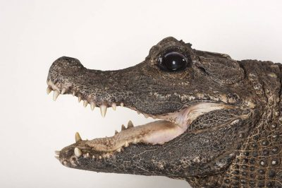A female West African dwarf crocodile (Osteolaemus tetraspis tetraspis) at the Woodland Park Zoo. This species is federally endangered and listed as vulnerable on IUCN.