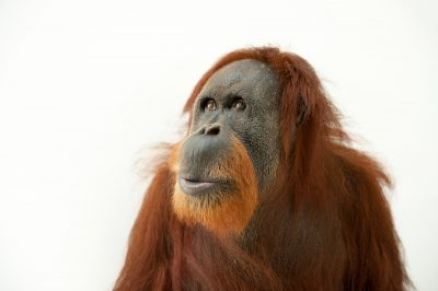 A critically endangered Sumatran orangutan (Pongo abelii) named Suzie, at the Gladys Porter Zoo.